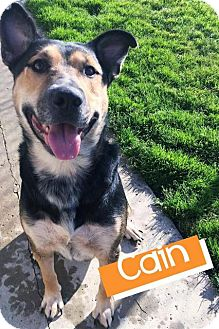 Shepherd (Unknown Type) Mix Dog for adoption in Hartford City, Indiana - Cain