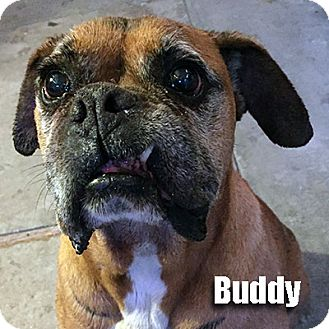 Boxer Dog for adoption in Encino, California - Buddy