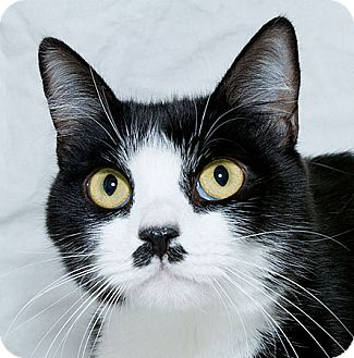 Domestic Shorthair Cat for adoption in Sacramento, California - Tony N