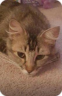 Domestic Mediumhair Cat for adoption in Temecula, California - Kayla