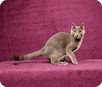 Russian Blue Cat for adoption in Cary, North Carolina - Pele (Kitten)