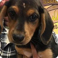 Adopt A Pet :: Tazi - Walden, NY