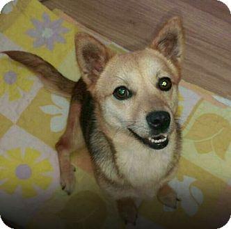 Shiba Inu/Chihuahua Mix Dog for adoption in Oakton, Virginia - Berry