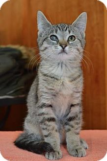 Domestic Shorthair Kitten for adoption in Williamston, Michigan - Ai Litter - Annie