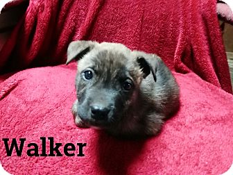 Boxer/Chow Chow Mix Puppy for adoption in Trenton, New Jersey - Walker
