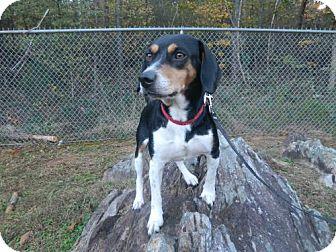 Beagle Dog for adoption in Randleman, North Carolina - Jed