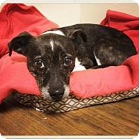 Adopt A Pet :: Sophie *CL* - Independence, MO