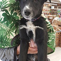 Adopt A Pet :: Calvin - Orland Park, IL