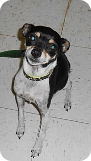 Rat Terrier Mix Dog for adoption in Lockhart, Texas - Sassy