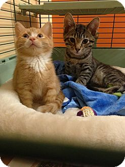 Domestic Shorthair Kitten for adoption in batlett, Illinois - Willy