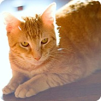 Adopt A Pet :: Gorgeous Garfield needs a New home - Brooklyn, NY