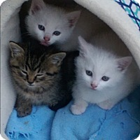 Adopt A Pet :: kittens - Troy, OH