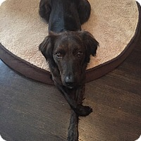 Adopt A Pet :: Mollie-adoption pending - Schaumburg, IL