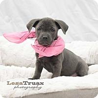 Adopt A Pet :: Serina - Frisco, TX