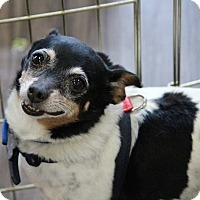 Toy Fox Terrier Dog for adoption in Henderson, Nevada - Holly