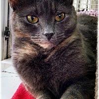 Domestic Shorthair Cat for adoption in Huntington, New York - Laura