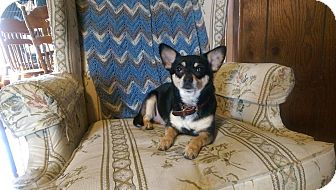 Chihuahua Dog for adoption in Sheridan, Illinois - Daizee Mae