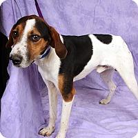 Adopt A Pet :: Benny Hound - St. Louis, MO