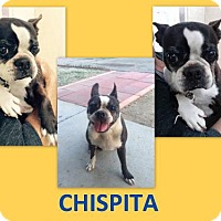 Adopt A Pet :: Chispita - Huntington Beach, CA