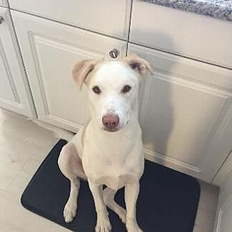 Labrador Retriever/Australian Cattle Dog Mix Dog for adoption in Pt. Richmond, California - PEARL
