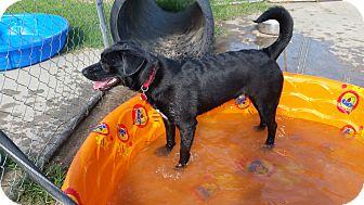 Labrador Retriever/Beagle Mix Dog for adoption in Norman, Oklahoma - Ezra
