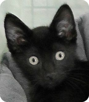 Domestic Shorthair Kitten for adoption in Redondo Beach, California - Ebony