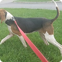 Treeing Walker Coonhound Dog for adoption in Nashville, Tennessee - Whitney