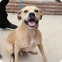 Pit Bull Terrier Mix Dog for adoption in Greensboro, North Carolina - Jupiter