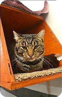 Domestic Shorthair Cat for adoption in Delaware, Ohio - Jermaine