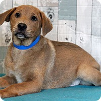Chow Chow/Retriever (Unknown Type) Mix Puppy for adoption in Waldorf, Maryland - Tico