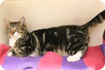 Domestic Shorthair Kitten for adoption in Huachuca City, Arizona - Pete