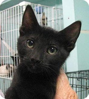 Domestic Shorthair Kitten for adoption in Las Cruces, New Mexico - Noches