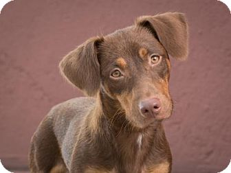Dachshund Mix Dog for adoption in League City, Texas - Donut