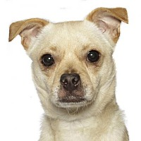 Adopt A Pet :: Pinkie - Oakland Park, FL