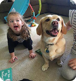 Corgi/Labrador Retriever Mix Dog for adoption in Cincinnati, Ohio - Bailey