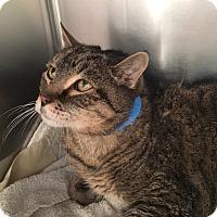 Adopt A Pet :: Burton - North Las Vegas, NV