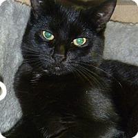 Adopt A Pet :: Black Pearl - Hamburg, NY