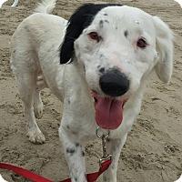 Adopt A Pet :: BLOSSOM - San Pedro, CA