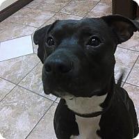 Adopt A Pet :: Jolly Roger - Dearborn, MI