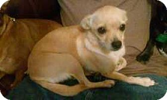 Chihuahua Dog for adoption in Edmond, Oklahoma - Lolly Pop