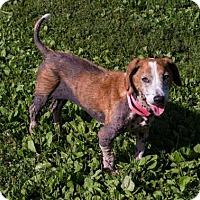Adopt A Pet :: Clementine - Fairfax, VA