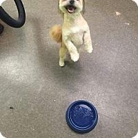 Havanese/Shih Tzu Mix Dog for adoption in Brooklyn, New York - Cornflake