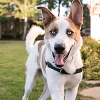 Husky Mix Dog for adoption in Winnipeg, Manitoba - Bloo