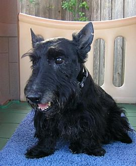 Scottie, Scottish Terrier Dog for adoption in Dallas, Texas - Maestro
