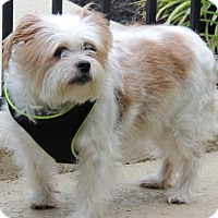 Adopt A Pet :: SCOTTIE - Washington, DC