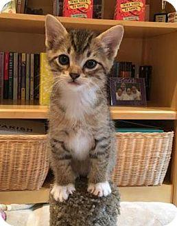 Domestic Shorthair Kitten for adoption in Richardson, Texas - Zeus