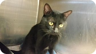Domestic Shorthair Cat for adoption in Union, New Jersey - Remington