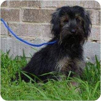 Chelsea | Adopted Dog | Houston, TX | Lhasa Apso/Yorkie ...