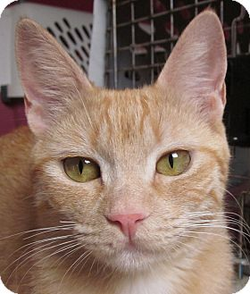 Domestic Shorthair Cat for adoption in Winchester, California - Olivia