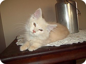 Domestic Longhair Kitten for adoption in Dover, Ohio - Butterscotch